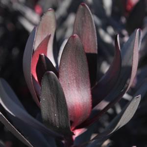 Leucadendron Burgundy Sunset (pbr)