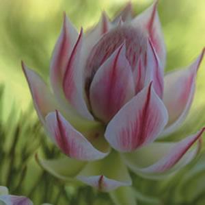 Serruria pretty n pink pbr garden express protea pretty n pink 2012 mightylinksfo