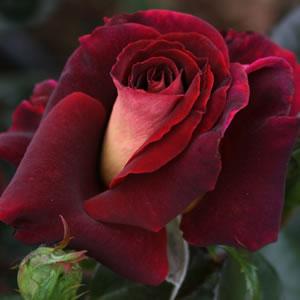 Rose The R.s.l Rose