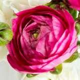 Ranunculi Cerise Pink