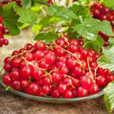 Red-Currant-ST-199977680-15