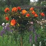 Standard Rose – Remember Me