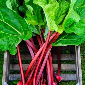Rhubarb Cherry Red Garden Express