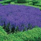 Salvia blue Bouquetta PPLSALBBO