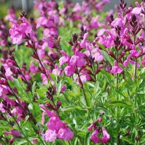 Salvia Sierra Pink2014
