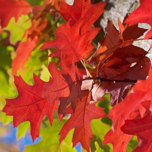 Scarlet Oak 15 St 247546534