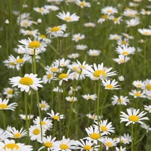 Shasta Daisy 14