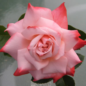 Thornless Rose Smooth Destiny