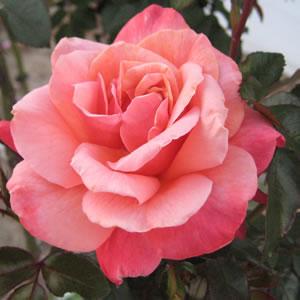 Thornless Rose True Friend Garden Express
