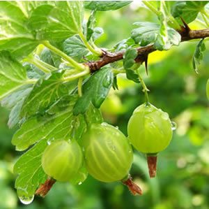 THORNLESS GOOSEBERRY