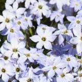 Triteleia (Spring Star) Light Blue_15