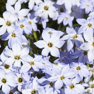 Triteleia Spring Star Light Blue 15