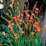 Tritonia Orange