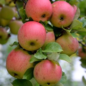 Trixzie Apple Pink Lady St244120444 15