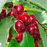 Trixzie-Black-Cherry-ST-196120289_15
