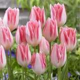 Tulip First Class