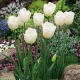 Tulip Lanka 16