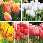Guide To Growing Tulips