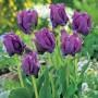 Tulip_Blue_Parrot_15_ FM