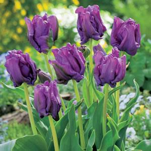 Tulip Blue Parrot 15 Fm