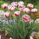 Tulip Carnival De Nice2014