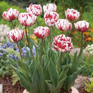 Tulip Carnival De Nice2014 - Garden Express Australia