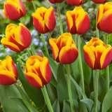 Tulip Gerrit Van Der Valk14