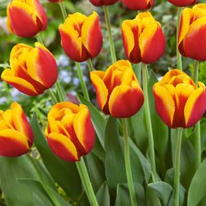 Tulip Gerrit Van Der Valk14 - Garden Express Australia