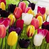 Tulip Mixed 12 01