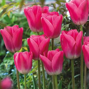 Tulip Sauternes 131