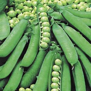 Seed – Pea Greenfeast
