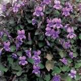 Viola Labradorica 2013 - Garden Express Australia