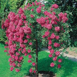 Weeping Standard Rose Dorothy Perkins Garden Express
