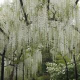Wisteria Floribunda White