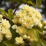 YELLOW BANKSIA ROSE
