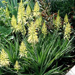 Aloe Bush Baby Yellow (pbr)