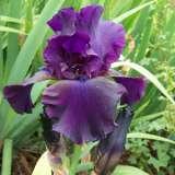 Bearded Iris Superstition