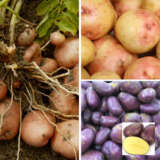 Certified Seed Potato Autumn Collection 1