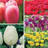 Tulip Triumph Collection-bold Colours