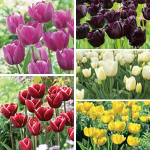 Tulip Triumph Collection
