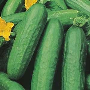 Seed – Cucumber Lebanese