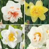 Daffodil Double Collection 2
