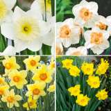Daffodil Garden Collection 2