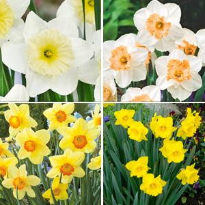 Daffodil Garden Collection 2