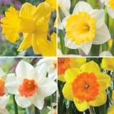 DAFFODIL GARDEN COLLECTION 1