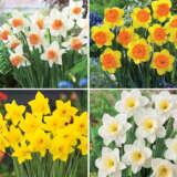 Daffodil Garden Collection 1