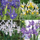 Dutch Iris Collection