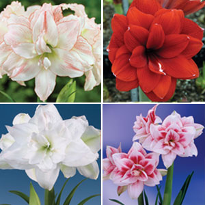 Hippeastrum Double Collection