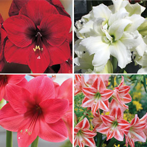 Hippeastrum premium collection garden express for Hippeastrum royal red entretien