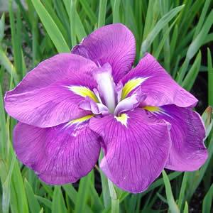 Japanese Iris Imperial Velvet PKJIRIVE
